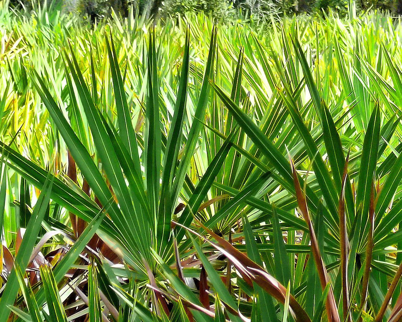 palma sabalowa