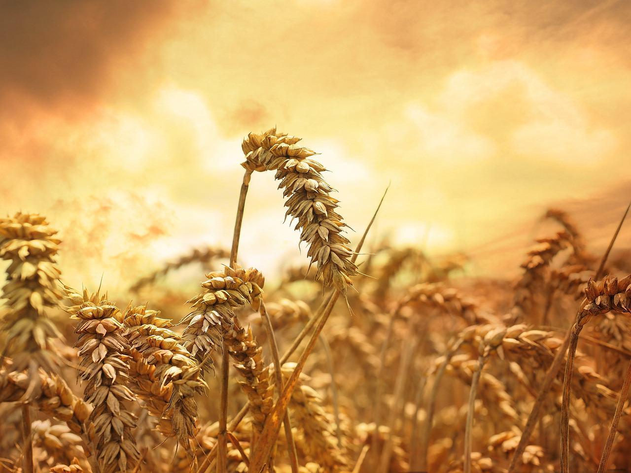 oczyszczająca dieta pszeniczna